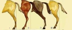 beenstanden paard achterbenen van opzij gezien