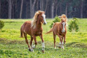 brumby paarden