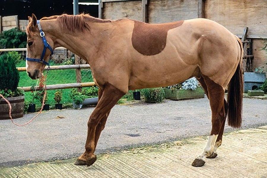 Hoefbevangenheid bij paarden behandelen en voorkomen