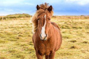 ijslander paard