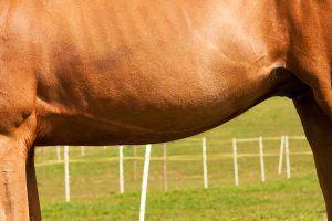 maagzweer paard