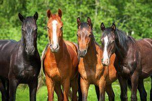 nieuw paard in de kudde