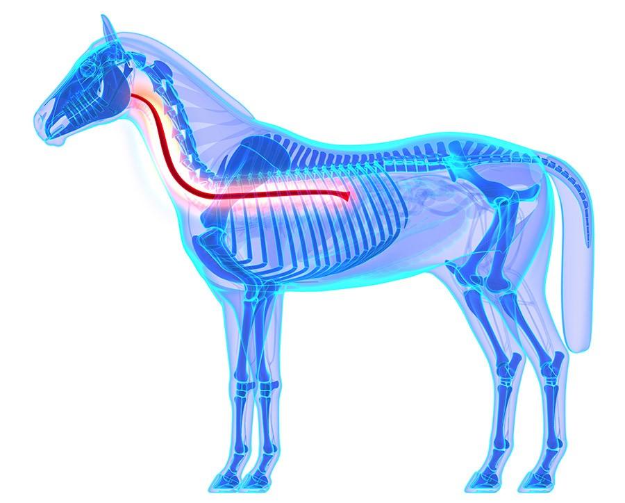 oesophagus paard