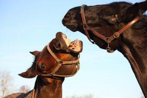 paard bijten afleren