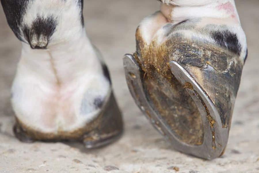 paard schraapt met hoef voorbenen