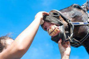 De paardentandarts: waarom, hoe vaak en kosten
