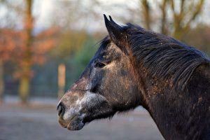 ziekte van cushing bij paarden